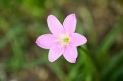 Flower of zephyranthes. This is a photograph of a flower of zephyranthes Stock Photo