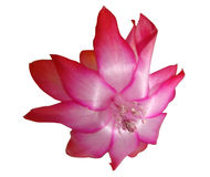 Flower Zigokaktus, Schlumbergera Lemaire. Of Christmas cactus stock photo