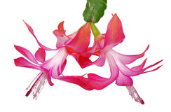 Flower Zigokaktus, Schlumbergera Lemaire. Of Christmas cactus royalty free stock images