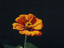 Flower of zinnia Royalty Free Stock Images