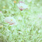 Flower zinnia, blurred background. Flowers zinnia in garden on vintage photo Stock Photos