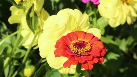 Flower of Zinnia closeup stock video