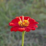 Flower Zinnia elegans - decorative flower. Royalty Free Stock Photo
