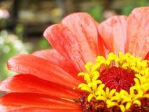 Flower - Zinnia - in the garden Royalty Free Stock Photos