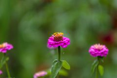 Flower of zinnia in the garden. Close-up Royalty Free Stock Photos
