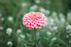 Flower zinnia, garden flowers, isolated. Flower zinnia, garden flowers, pink color, July blooming garden, flowerbed, isolated stock photo