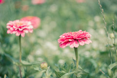 Flower zinnia, garden flowers, isolated. Flower zinnia, garden flowers, pink color, July blooming garden, flowerbed, isolated stock photos