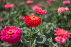 Flower zinnia, garden flowers. Red and pink color, July blooming garden, flowerbed stock photography