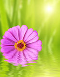Flower zinnia on green background Royalty Free Stock Image
