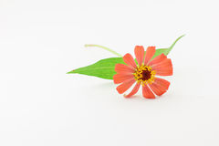 Flower of zinnia isolated Stock Photography