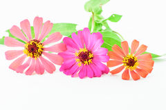 Flower of zinnia isolated Royalty Free Stock Images