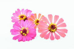 Flower of zinnia isolated Royalty Free Stock Image