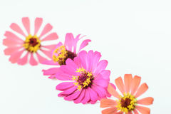 Flower of zinnia isolated Stock Images