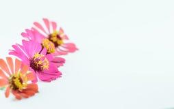 Flower of zinnia isolated Stock Photo