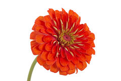 Flower of zinnia (Lat. Zinnia) Royalty Free Stock Photo