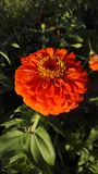 Flower zinnia Stock Images