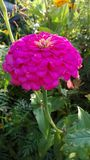 Flower zinnia Stock Image