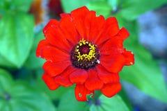 Flower zinnia Stock Photography
