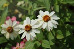 Flower& x28 Zinnia; Violacea Cav Zinnia & x29; стоковые изображения rf