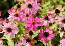 Flower& x28 Zinnia; Violacea Cav Zinnia & x29; стоковое изображение