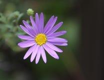Flower in Zion NP. Purple flower found in Zion National Park stock photos