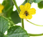 Flower of zucchini and bee Royalty Free Stock Photography