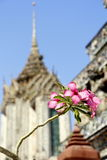 Flower1. Frangipani flower with the temple background Royalty Free Stock Photos