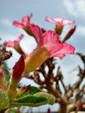 Floweradenium Lizenzfreies Stockbild