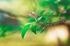 Flowerage de Cherry Tree avec les fleurs pourpres, nature de ressort, été, modifié la tonalité Images libres de droits