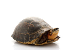 Flowerback Box Turtle. (Cuora galbinifrons) isolated on white background Stock Photography