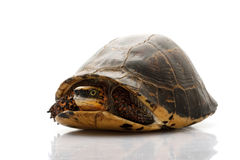 Flowerback Box Turtle. (Cuora galbinifrons) isolated on white background Stock Images