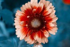 Flowerbackground, gardenflowers. Beautiful cyan single Flower closeup. Horizontal summer flowers art background. Stock Images