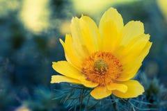 Flowerbackground, gardenflowers Nam op de bokehachtergrond toe Horizontale abstracte achtergrond Mooie Gele Bloem Royalty-vrije Stock Fotografie