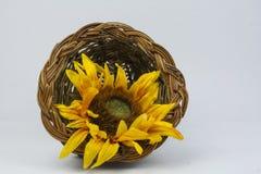 Flowerbasket. A single sun flower  in  a basket on a white basket Royalty Free Stock Image