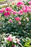 Flowerbed розовых роз стоковые фото