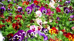 Flowerbed με πολύ tricolor Viola pansies απόθεμα βίντεο