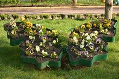 Flowerbed με τα pansies Στοκ εικόνα με δικαίωμα ελεύθερης χρήσης