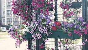 Flowerbed με την πολύχρωμη πετούνια υπαίθρια φιλμ μικρού μήκους