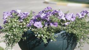 Flowerbed με την πολύχρωμη πετούνια υπαίθρια απόθεμα βίντεο