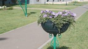 Flowerbed με την πορφυρή πετούνια στις άκρες του πεζοδρομίου απόθεμα βίντεο