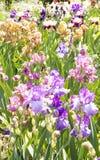 Flowerbed με τις ίριδες Στοκ εικόνα με δικαίωμα ελεύθερης χρήσης