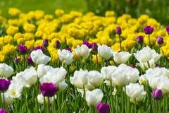 Flowerbed με τις τουλίπες Στοκ Εικόνα