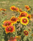 Flowerbed με το φωτεινό ηλιακό λουλούδι Στοκ εικόνες με δικαίωμα ελεύθερης χρήσης