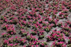 Flowerbed με χρωματισμένη τη ροδανιλίνη πετούνια τον Ιούλιο στοκ εικόνα