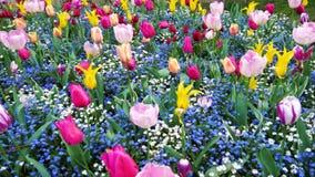 Flowerbed των ζωηρόχρωμων λουλουδιών από τις τουλίπες ανοίξεων φιλμ μικρού μήκους