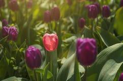 Flowerbed των ηλιοφώτιστων τουλιπών Στοκ Εικόνα