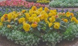 Flowerbed желтого цвета цветет солнечный день в парке Стоковое фото RF