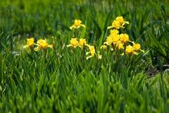 Flowerbed желтых радужек Стоковая Фотография