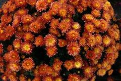 Flowerbed сделанный от красочной маргаритки oxeye Стоковое Изображение