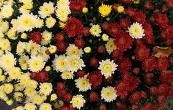 Flowerbed сделанный от красочной маргаритки oxeye Стоковое Фото